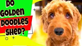 Do Goldendoodles shed? Goldendoodle Dog Breed Answers