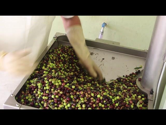 Olivicultura na EPAMIG
