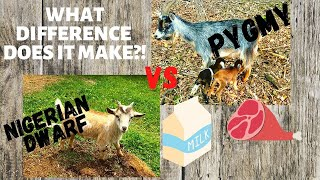 WHATS the DIFFERENCE?! PYGMY GOATS vs NIGERIAN DWARF GOATS!  Which BREED is the BEST PET GOAT?