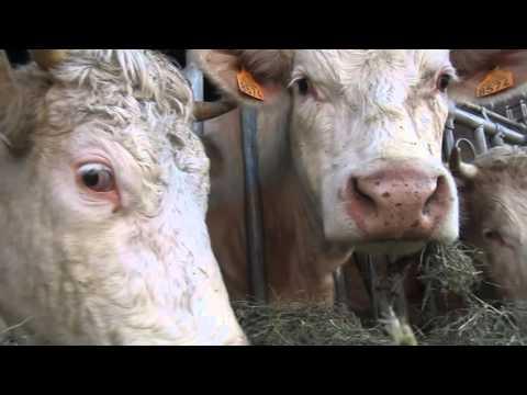 Коровы. Молочная ферма.