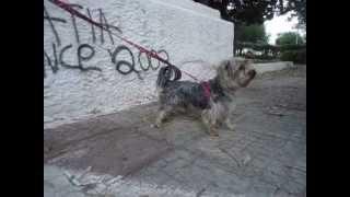 Yorkshire Terrier Big