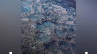 На берег моря вынесло сотни голубых медуз