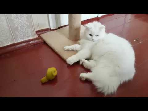 Petting Turkish Angora cat - the cutest cat video