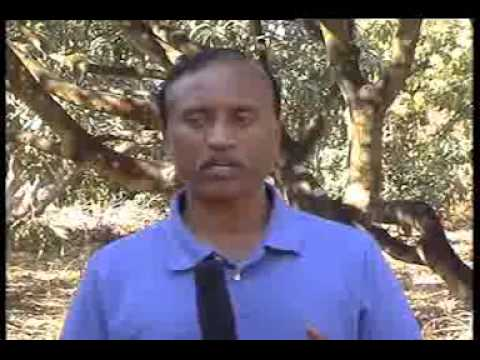 26-2-13 mango programme and panchagavya