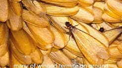 How to Tell if You Have Termites | Identifying Termites