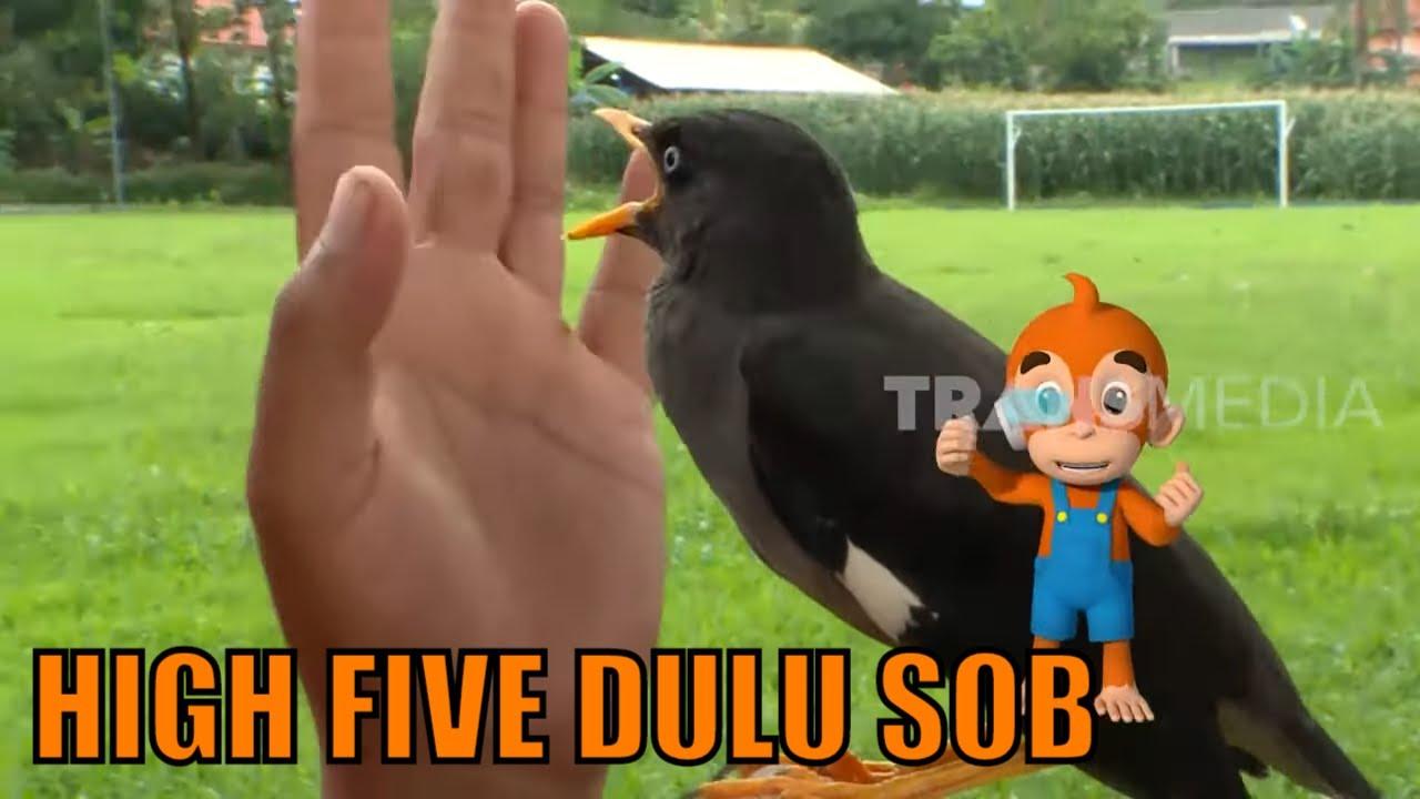 Kenapa Burung Ini Disebut Burung Jalak Kerbau Si Otan 20 04 20 Youtube