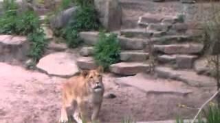 Leeuw brult naar ons ivb met rare geluiden