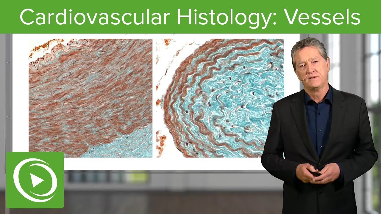 Cardiovascular Histology: Vessels – Histology | Lecturio