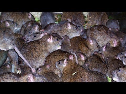 ТОП 5 пугающих фактов о крысах