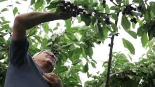 Cerise et Potiron : producteurs de cerises