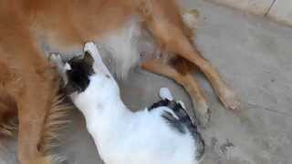 dog cat breastfeeding