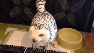マウスを一気で丸呑みするシロフクロウのメリーちゃん。 Facebook フク...