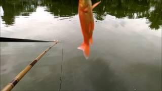 蓮池潭的魚大咬總在大雨後 thumbnail