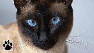 Породы кошек - Сиамская кошка. [Siamese Cat (Cat Breed)]