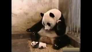 Маленькая панда чихнула  Прикол!
