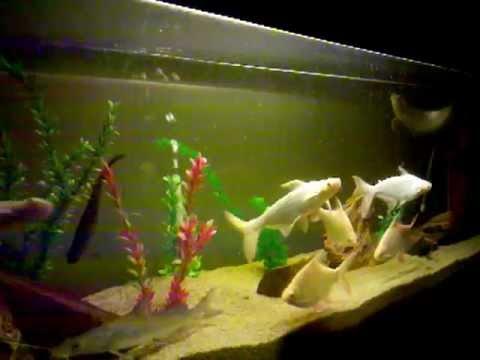 My Monster Fish Tank With Arrowana And Indian Shovelnose Catfish
