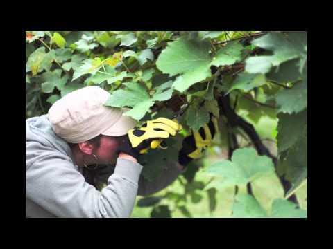 Summerset Winery Harvest
