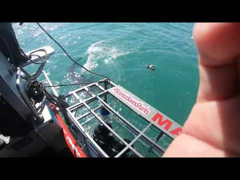 GREAT WHITE SHARK...in Gansbaai2