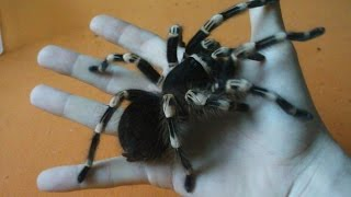 Handling large brutal tarantula that killed the mouse (Acanthoscurria geniculata) [Inferion7]