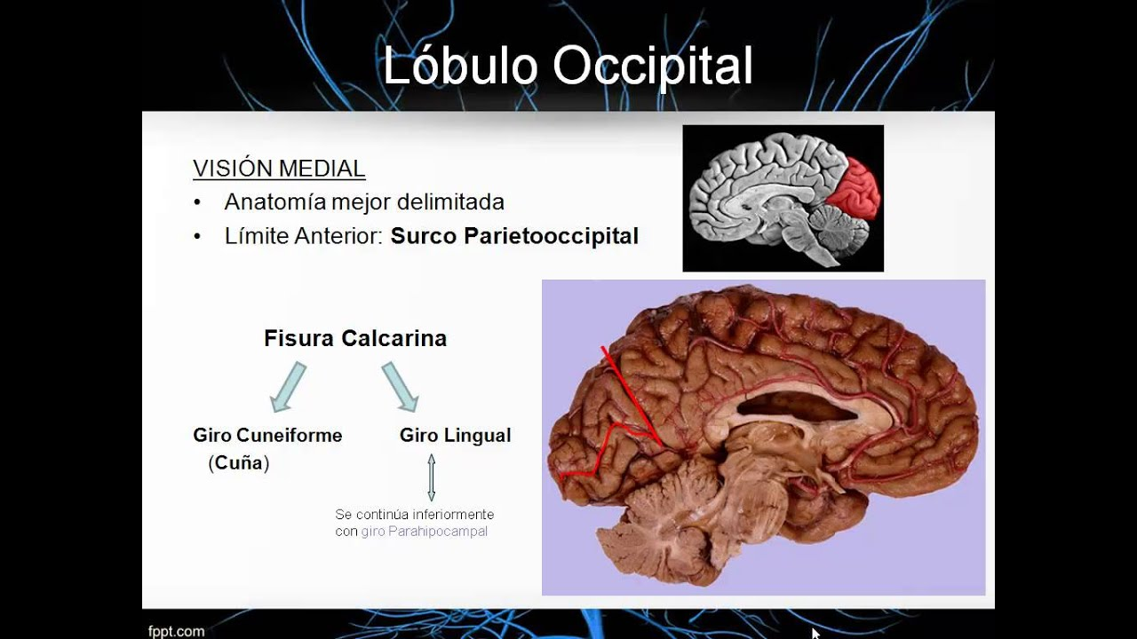 Neurocirugia-princesa.net- Giros y Surcos: Neuroanatomía