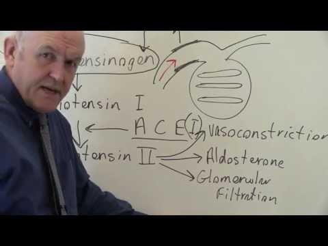 Renin Angiotensin System Regulates Blood Pressure