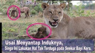 Usai Menyantap Induknya, Singa Ini Lakukan Hal Tak Terduga pada Seekor Bayi Kera.
