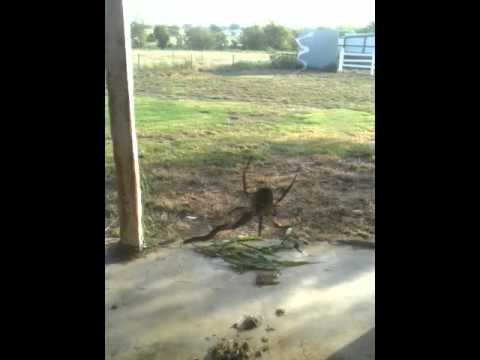 Giant Spider Eating A Snake Is Absolutely Horrifying sPiDeR eAtS sNAKe!!! -...