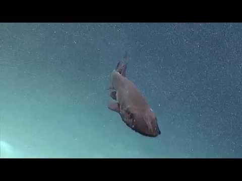 Deep Waters off Hawaii expedition: Deepwater Shark