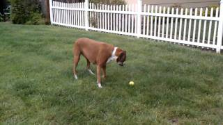 Boxer Dog Vs. Lemon