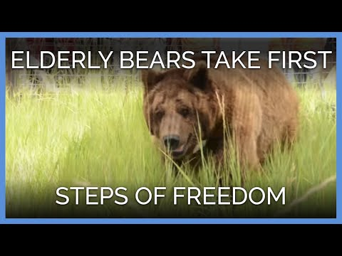 Elderly Bears Take First Steps of Freedom