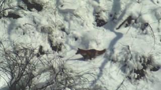 キツネが雪中のネズミを探しあて、捕えることに成功しました。捕まえる...