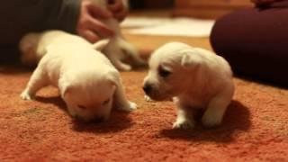3 Week Old Christmas Westie Puppies