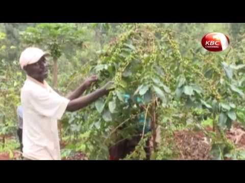 Farmers in Kirinyaga County embrace organic coffee