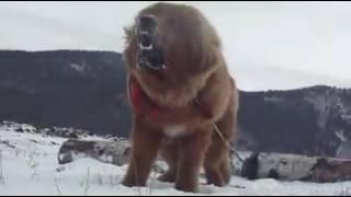 tibetan mastiff angry