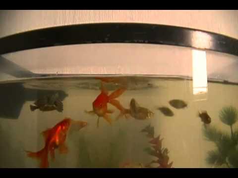 Comida viva para peces youtube for Comida para peces