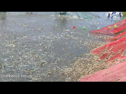 3 டன் இறால் மீன் பிடிக்கும் காட்சி|3 Tons Of Shrimp Fishing Scene|shark Boys