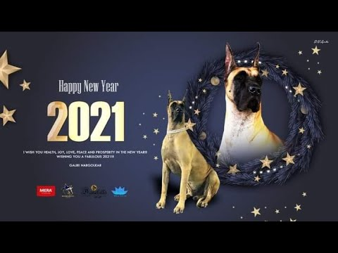Great Dane Dog show 2019 Bangalore