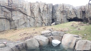 16-Year-Old Polar Bear Dies At Lincoln Park Zoo