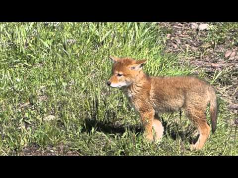 Wonderful Wyoming Wildilife - Coyote Pup - 6/1/2015