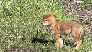 Wonderful Wyoming Wildilife - Coyote Pup - 6/1/2015