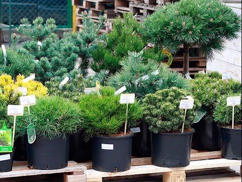 растения фото декоративные названия и хвойные
