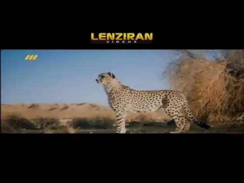 """Tanhavash "" trying to find and film Asian cheetah in Iranian deserts"