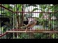 Ciblek Gunung Asli Cocok Untuk Masteran Burung Kicau Ngobra(.mp3 .mp4) Mp3 - Mp4 Download