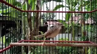 VIDEO CIBLEK GUNUNG ASLI COCOK UNTUK MASTERAN BURUNG KICAU