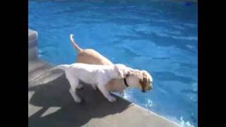 Labrador Puppy Swimming With Mom