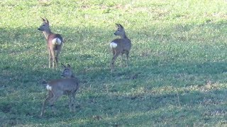 Kto straszy te sarny? Zwierzęta / Who scares those deer ? Animals