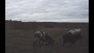 Разъяренный бык до смерти забил мужчину на Ставрополье