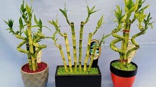 видео Бамбук комнатный: уход. Домашний бамбук счастья: где купить бамбук. Изделия: мебель в интерьере из бамбука. Ствол, размножение, выращивание бамбука.
