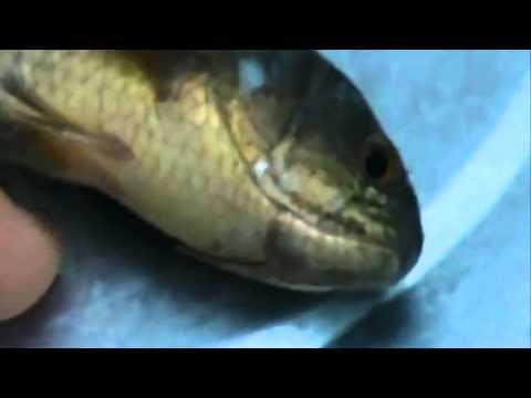 Cá Sống Lại Nhờ Công Đức Niệm Phật