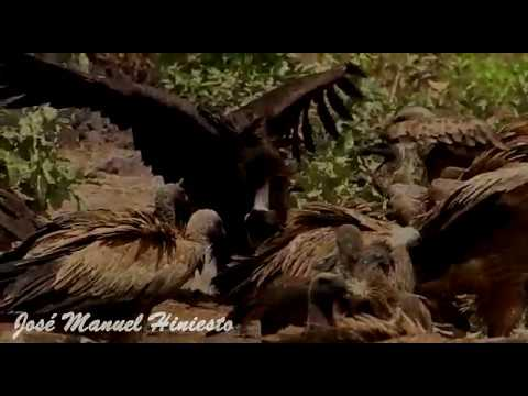 First record of Cinereous Vulture for The Gambia